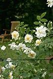 'Lykkefund', Rambler-Rose in A-Qualität Wurzelware