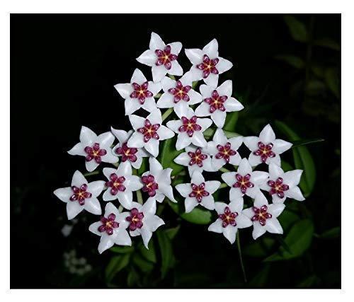 1x Hoya oblongata Pflanze Topf Wachsblume Zimmerpflanze CO14