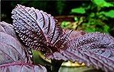 PLAT FIRM KEIM SEEDS PLATFIRM-50 + Shiso-Perilla Magilla Perilla/Japanisch Basilikum Samen Kraut