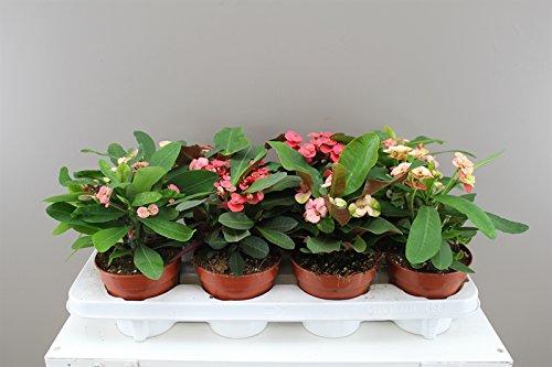 crown-of-thorns-kaktus-verschiedene-farben-traditionell-ein-symbol-der-viel-gluck-ideales-geschenk-f