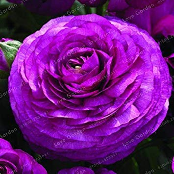 100 PCS Ranunculus Asiaticus Blumen Bonsai DIY Pflanzen für Hausgarten Indoor Bonsai Pflanzen Bonsai Topfpflanze: 16