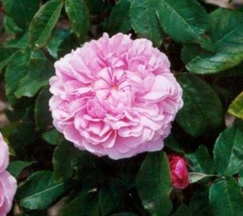 apuldram-roses-jacques-cartier-shrub-rose-potted