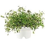 CLICK AND GROW C&GR16EN - Recargas para protección para plantas (tomillo), color blanco