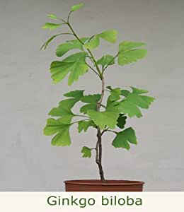 seedeo ginkgo ginkgo biloba pflanze 2 5 jahre garten. Black Bedroom Furniture Sets. Home Design Ideas