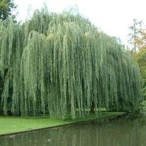 Saule pleureur, Salix alba Tristis env. 3 à 3,5 m, Tige circonférence 10/12 cm,
