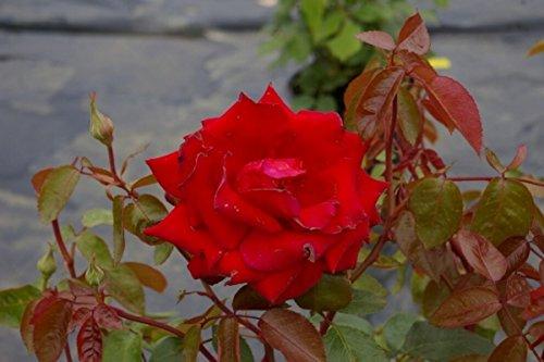 Edelrose Ingrid Bergmann - Rosa Ingrid Bergmann® - Teehybride - dunkelrot - Duft+