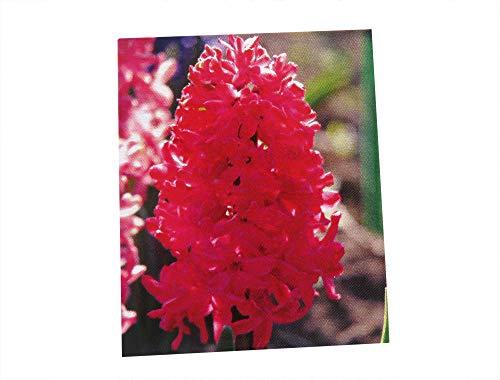 Hyazinthe Scarlet Pearl