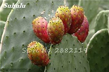 Promoción grande 100 semillas de Opuntia piezas raras higo chumbo de dulce de alta nutritous Cactus Semillas fruto comestible del jardín de flor de Bonsai 13