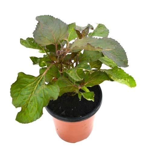 Flor Eléctrica Planta Natural 10cm Spilanthes Oleracea