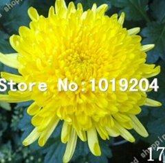 100 pc colorati semi di crisantemo, semi di fiori colorati, bellissimi semi di piante in vaso