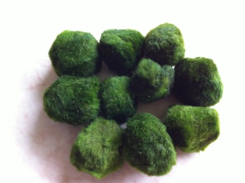 luffy-nano-marimo-moss-ball-x-5-1-free-live-aquarium-aquatic-plant-for-java-fish-shrimp-diffuser-co2
