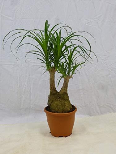 [Palmenlager] – Elefantenfuß Nolina beaucarnea – verzweigt – 70/80 cm // Zimmerpflanze