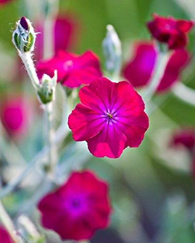 Rose Campionsamen - Lychnis coronaria - 360 samen