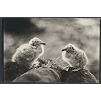 POSTER Young birds nest Macquarie Island Harold Hamilton Australia Wall Art Print A3 replica