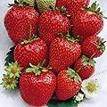 """Erdbeerprofi - Erdbeere """"Ostara"""" - 20 Pflanzen - Frigo Erdbeerpflanzen - Immertragend - Erdbeersetzlinge - Erdbeerstecklinge von Erdbeerprofi.de bei Du und dein Garten"""
