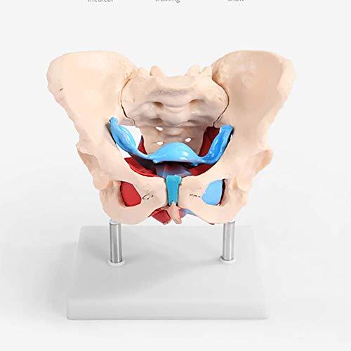 WJER Lebensgröße Weibliches Becken anatomisches Modell Mit Muskel,Mini-Becken mit Lendenwirbelsäule