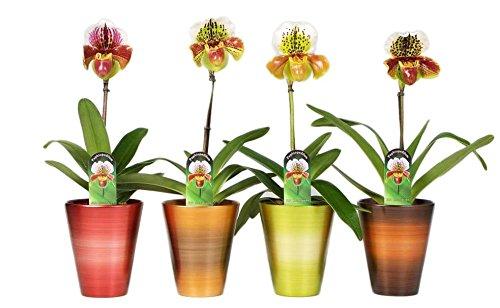 FloraStore - Paphiopedilum Hybride américain saison pot 1 branche (Pot De Bronze) (1x), Hauteur35 CM, Plante d'Intérieur