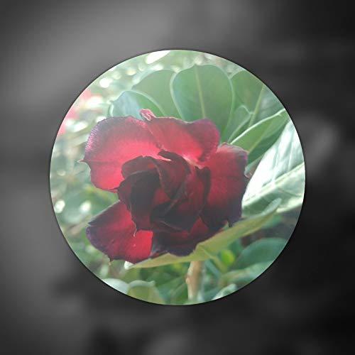 Semi organici: Adenium 3 rosa del deserto, marrone & s, piante grasse in diretta da Farmerly