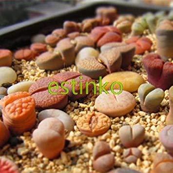 VISTARIC 11: 100 Pcs/Sac Rare Eucalyptus Arc-en-Floraison Graines, Graines Arbre Tropical, Eucalyptus Plantes pour Jardin d'ornement Bonsai 11