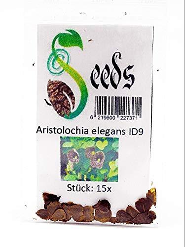 15x Aristolochia elegans Samen Pfeifenblume Kletterpflanze Pflanze Garten ID9