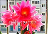 Vistaric 1bag = 100 stücke billig clivia samen, Clivia topfsaat, Bonsai balkon blume haus & garten