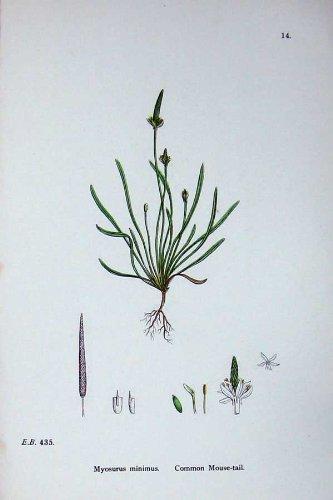 la-botanica-pianta-c1902-la-topo-coda-comune-myosurus-minimus