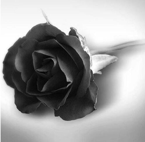 50 Graines Rose Noire - avec bord rouge, couleur rare, jardin de fleurs populaires Graines vivaces Bush ou Bonsai Fleur 11