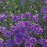 Fiore - Kings Seeds - Confezione Multicolore - Fiordaliso - Double Blu
