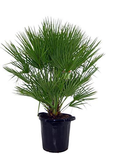 FloraStore - Chamaerops Humilis (140 cm) (1x), Pot Ø 40 CM, Plante d'Intérieur