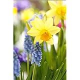 Cuadro sobre lienzo 60 x 90 cm: Daffodils, Easter flowers, Easter bells, grape hyacinths, onion plants de Sweet INK / Mauritius Images - cuadro terminado, cuadro sobre bastidor, lámina terminada so...