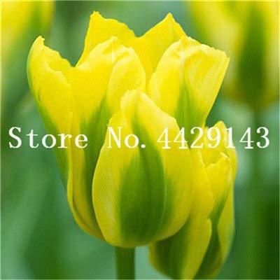 Prime vista 200 pz fiori tulipano bonsai arcobaleno colore petali esterno tulipano fiore perenne giardino domestico fai da te piante in vaso bonsai: 11