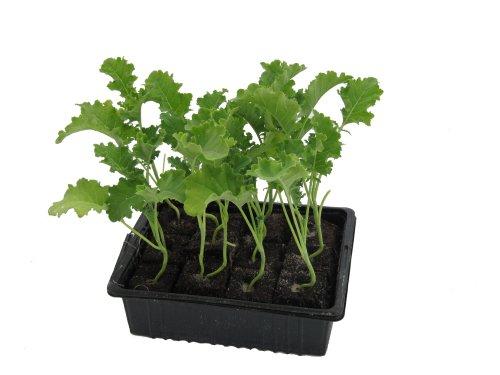 Grünkohlpflanzen im 12er Pack, Grünkohlpflanzen, Grünkohl kaufen, Gemüsepflanzen,Brassica oleracea v