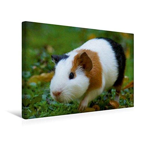 Calvendo Premium Textil-Leinwand 45 cm x 30 cm Quer, Meerschweinchen on Tour | Wandbild, Bild auf...