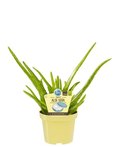 Bio Aloe Vera Sweet, (Aloe vera barbadensis Miller), Kräuter Pflanzen aus nachhaltigem Anbau (1 Pflanze, je im 12cm Topf)