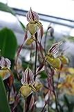 1 blühfähige Orchidee der Sorte: Paphiopedilum philipinense