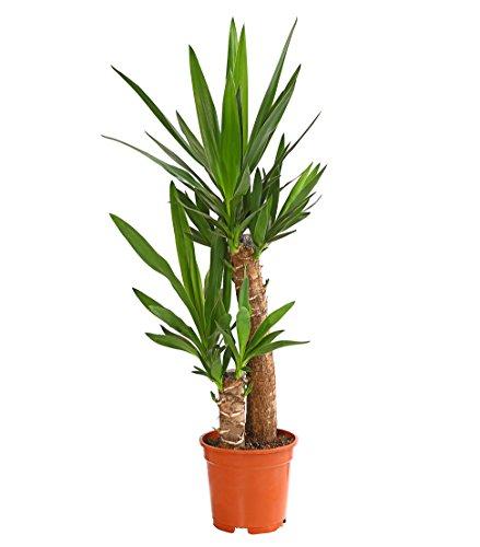 Dehner Yucca-Palme, zweitriebig, ca. 80-90 cm, ca. 19 cm Topf, Zimmerpalme