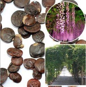 150pcs / bag heißer Verkauf Parfüm Lila Wisteria Schlingpflanzen Blumensamen für DIY Hausgarten Schloss Blumentöpfe Pflanzer -
