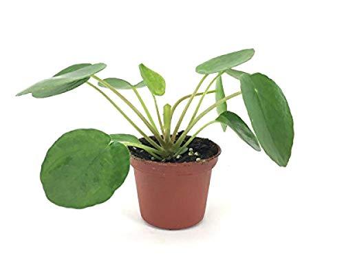 Seeds: Pilea Peperomioides Rare Houseseed Growing in Pot - Geld Samen