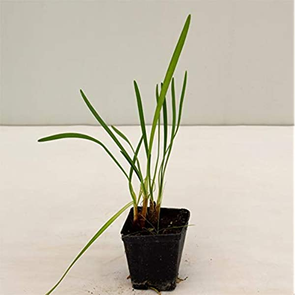Pianta Tulbaghia Violacea Vaso 18cm,Altezza 25-35cm