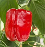 200pcs/bag Organic Rainbow Bell Pepper seeds(chili seeds),mixd colour ,vegetable seeds Non-GMO plant for home garden 1