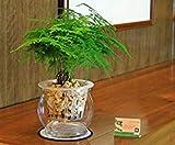 Fash Lady Fogliame graden coleus, semi di piante verdi, semi di bonsai giardino domestico fai da te 60 pezzi