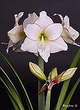 Amaryllis Zwiebel im 14cm Topf, (Hippeastrum Hybride), 2 bis 3 Blütentriebe, (Weiss mit dunklem Rand - Sorte: Picotee)