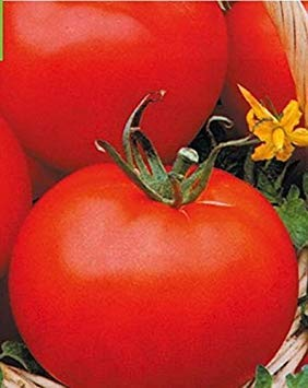 FERRY Germinazione dei Semi: 3G / 60 Sementi di Pomodoro Utro