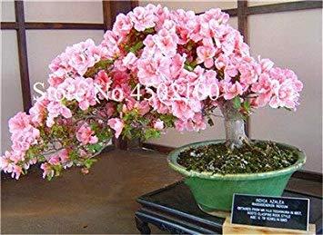 CUSHY 100 Stück exotischen japanischen AZEA Bonsai, Misch Rhododendron AZEA, AZEA Bonsai Samen DIY Seedssseed für Hausgarten: 3