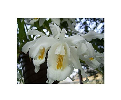 1x Coelogyne cristata- Duft Orchidee Pflanze Blüten weiß gelbe Mitte OW41
