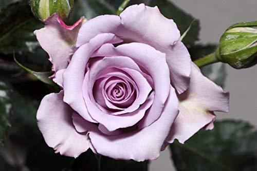 Saatgut Rosen Hefen, für Zuhause, Garten, Hof, Dekoration, 50 Samen - Ocean Rose seeds