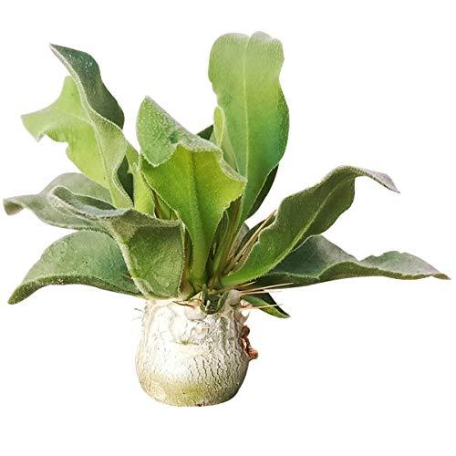 Generic SAMEN: 2 & # 039; & # 039; + Tongefäß: Pachypodium namaquanum 's Trunk Succulent (2''BZW. 4 '')