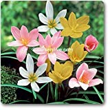 #10: Zephyranthes Lily ( Mix ) - 10 Bulbs