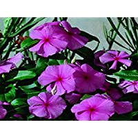 PlenTree 50 Semillas Semillas Vinca Sunsplash uva