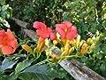 Trompetenblume 'Mme Galen' - Campsis tagliabuana 'Mme Galen' von Baumschule - Du und dein Garten